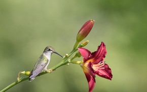 Picture flower, nature, bird, Lily