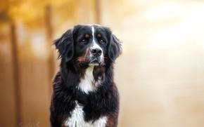 Picture look, portrait, dog, dog, bokeh, Bernese mountain dog