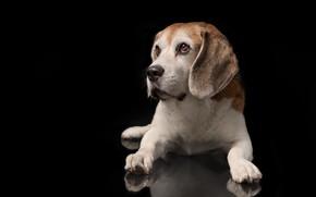Picture portrait, dog, paws, puppy, black background, Beagle