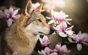 Picture flowers, dog, profile, Magnolia, Chinua, the Czechoslovakian Wolfdog