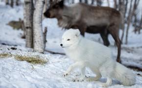 Picture winter, forest, animals, white, face, snow, deer, Fox, walk, Fox, polar, Arctic