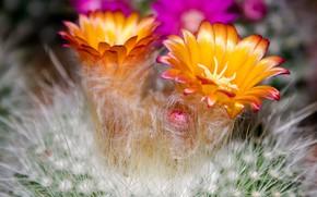 Picture needles, petals, cactus, barb, fluff, stamens, shades, rosebud, orange flowers, picture macro