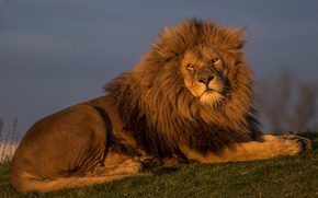 Wallpaper the king of beasts, Leo, handsome