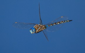 Picture dragonfly, insect, wings, Blue-eyed Darner, Rhionaeshna multicolor