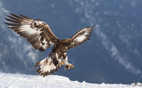 Wallpaper Golden eagle, eagle, predator, golden eagle, birds