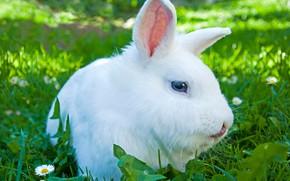 Picture gentle, fur, rabbit, cute, color
