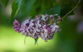 Picture nature, petals, lilac, inflorescence