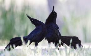 Picture birds, dance, beak, tail, bolshevaty grackle