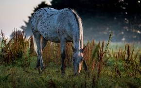 Picture horse, horse, pasture, grazing
