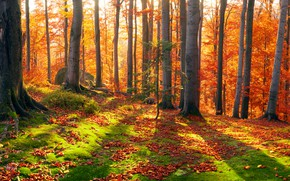 Picture the sun, trees, moss, leaves, Transcarpathia, forest, Ukraine, autumn, stones