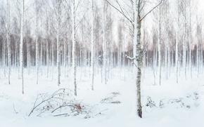 Picture winter, snow, birch