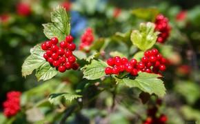 Picture berries, Bush, branch, Kalina