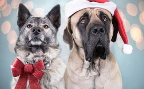 Picture dogs, portrait, pair, bow, cap, English Mastiff, Norwegian grey Elkhound
