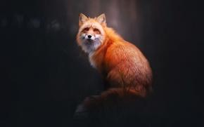 Wallpaper forest, Fox, look, Fox