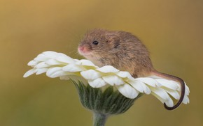 Picture flower, macro, background, rodent, gerbera, The mouse is tiny, Harvest mouse