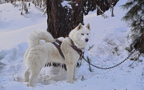 Picture dog, white, forest, husky, dog, snow, husky, friend, siberian husky
