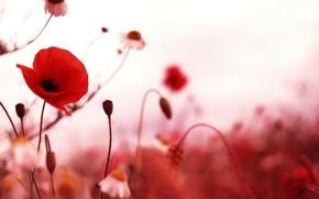 Picture nature, Mac, petals