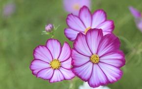 Picture space, macro, petals, bokeh, kosmeya