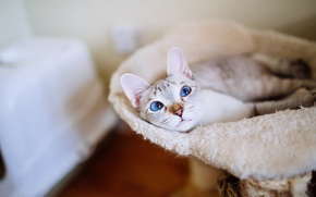 Picture cat, cat, look, comfort, room, place, lies, fur, blue eyes, the room, blue-eyed, litter, personal, …