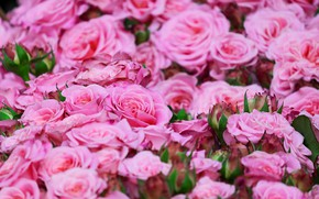 Picture roses, pink, a lot, roses, rosebuds