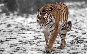 Picture snow, tiger, predator