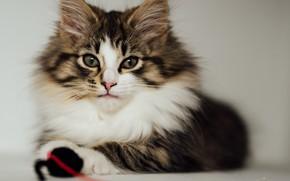 Wallpaper cat, fluffy, look, cat