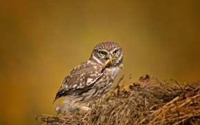 Picture owl, birds, the little owl