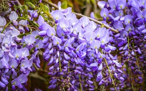 Picture flowers, branches, spring, garden, purple, flowers, flowering, cascade, a lot, lilac, blooming, flora, Wisteria, Wisteria, …