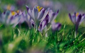 Picture greens, summer, grass, the sun, flowers, crocuses, bokeh