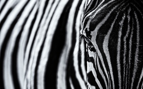 Picture strips, texture, Zebra, black and white photo