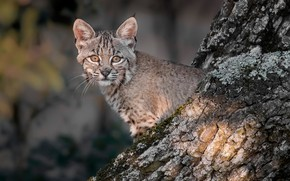 Picture tree, lynx, kitty, look, cub