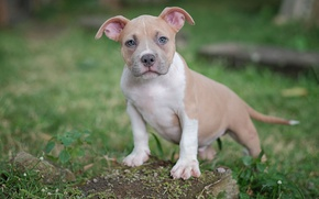 Picture look, dog, puppy, American bully