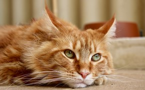 Picture cat, look, Maine Coon, cat red