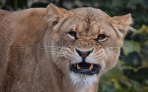 Picture portrait, grin, lioness, zoo, big cat