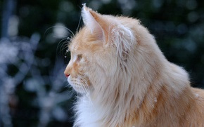 Picture cat, wool, profile