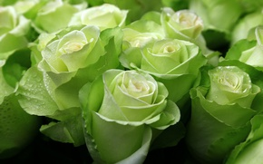Picture green, roses, exotic, buds
