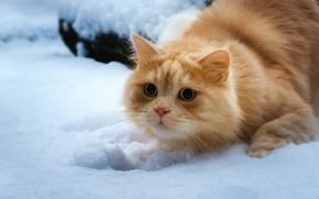 Picture cat, look, snow, red cat