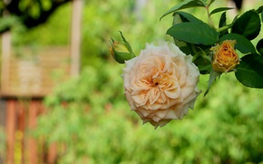 Picture rose, branch, buds, bokeh