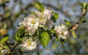 Picture branch, spring, Apple