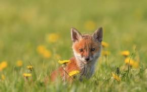 Picture grass, look, flowers, baby, muzzle, cub, dandelions, bokeh, Fox