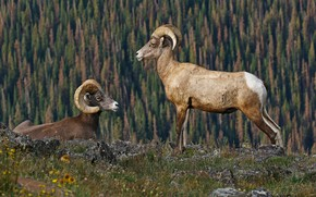 Picture mountains, horns, bighorn sheep