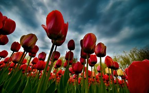 Picture clouds, tulips, plantation