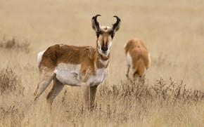 Wallpaper nature, antelope, pronghorn, grass, horns