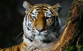 Picture cat, face, close-up, nature, tiger, background, tree, portrait, trunk, wild cats