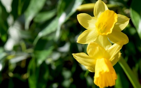Picture macro, flowers, yellow, spring, widescreen, daffodils