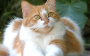 Picture cat, beauty, cat