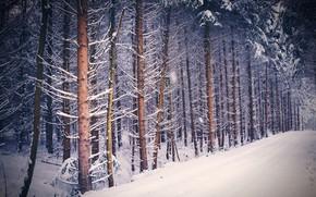 Wallpaper winter, forest, snow