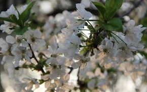 Picture nature, spring, cherry blossoms