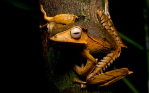 Picture animals, eyes, macro, strips, tree, frog, legs, orange, red, bark, black background, sitting, looks, pupils, …