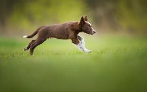 Wallpaper brown, Tissaia ♥, The border collie, weed, puppy, running
